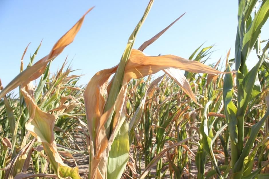 Na wielu plantacjach liście są sinozielone, zwiniętę w rurki, przy silnym deficycie wody, w skrajnych przypadkach liście usychają Fot. A.Kobus