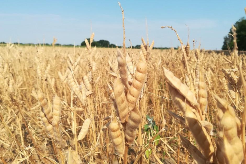 Opadów także zabrakło dla upraw strączkowych, które redukowały liczbę strąków. Niestety rolnicy sygnalizują, że plony tych gatunków są poniżej ich oczekiwań Fot. A. Kobus