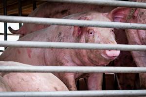 Bułgaria: 17 tys. świń do likwidacji z powodu ASF