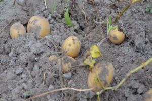 Susza – czynniki ograniczające plonowanie ziemniaka