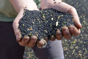 Lepsze zaolejenie nasion rzepaku, co z ceną?