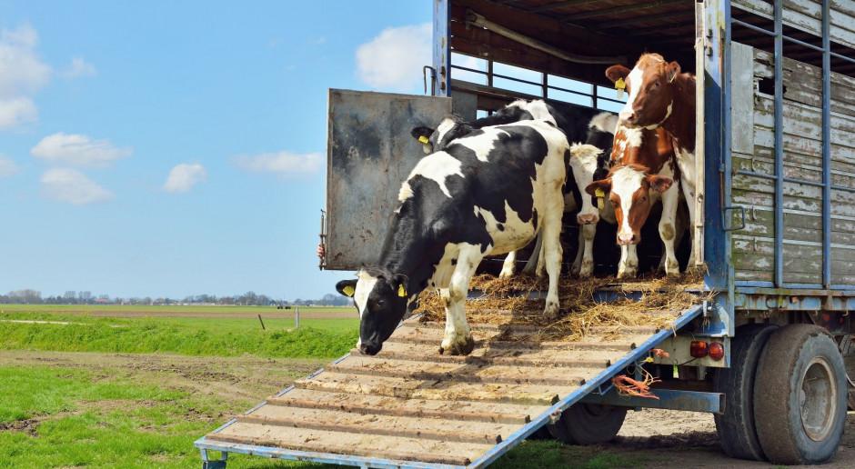 Transport żywych zwierząt bez przeładowania pojazdu