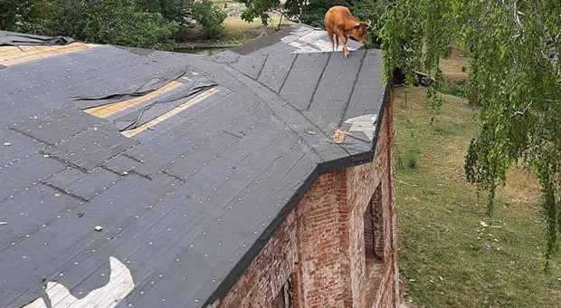 Strażacy ściągali krowę z dachu, a konia wyciągali z kanału