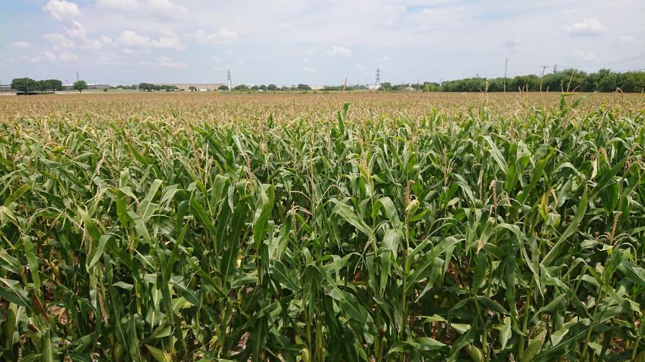 W tym roku Travis obsiał ponad 1000 hektarów kukurydzą