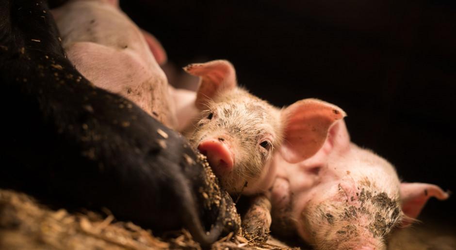 Ognisko ASF na północnym Mazowszu, ponad 1300 świń do likwidacji