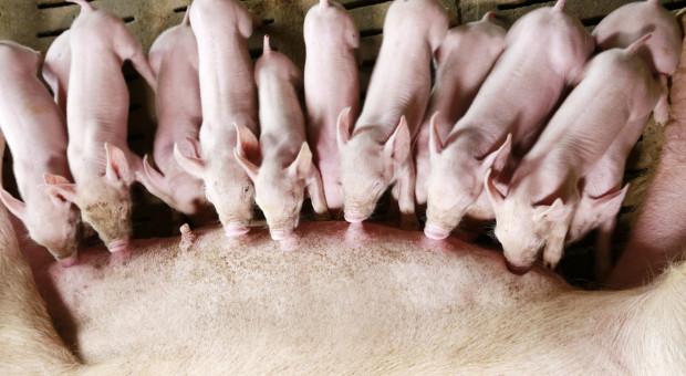 Czy jesteśmy gotowi na wycofanie ZnO z pasz dla świń?