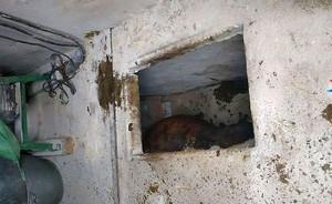 Zwierzę spadło przez zarwany właz do piwnicy