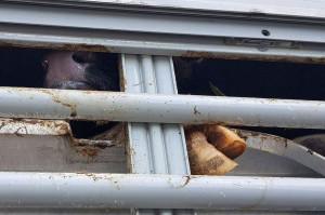 Pojazdy nie były dostosowane do transportu młodego bydła. Jednemu cielakowi noga utknęła pod barierką