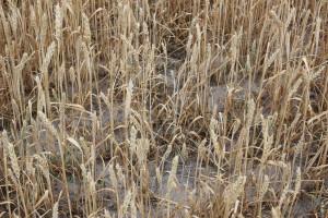 Straty suszowe szacują komisje w 1106 gminach