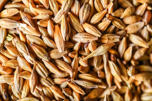Świeże ziarno zbóż w żywieniu świń