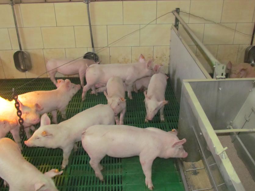 Na negatywne skutki działania świeżego ziarna zbóż narażone są przede wszystkim młode zwierzęta, fot. A. Królak