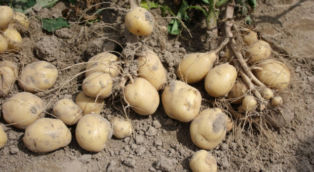 Rynek ziemniaka pod presją COVID-19