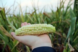 Świętokrzyskie: trwa szacowanie strat po suszy
