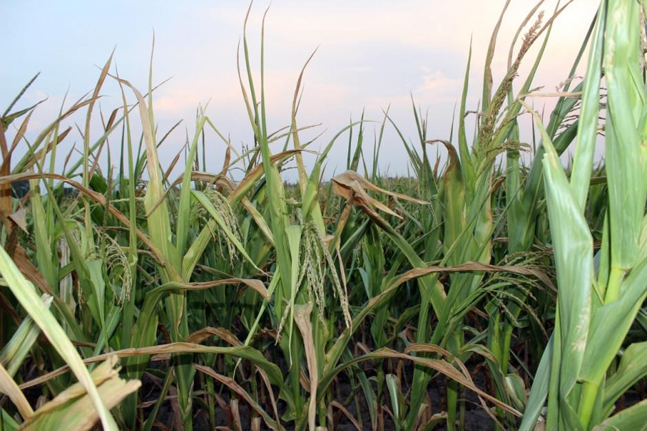 Z powodu braku wody, wysokich temperatur  i silnego nasłonecznienia liście kukurydzy lokalnie są silnie