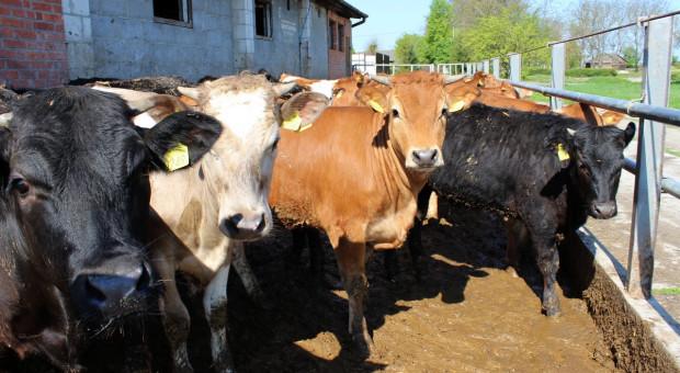 Spadki cen bydła wyhamowały, widać lekkie odbicie