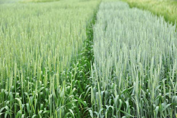 Odmiana pszenicy skrojona na miarę