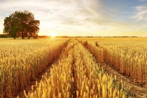 Mocne odreagowanie spadku cen amerykańskich zbóż