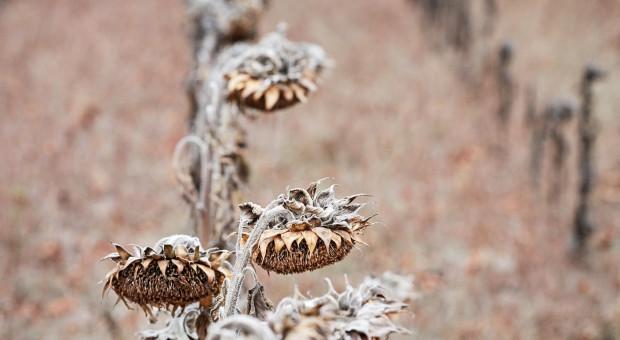 IUNG: susza obejmuje wszystkie monitorowane uprawy w całym kraju