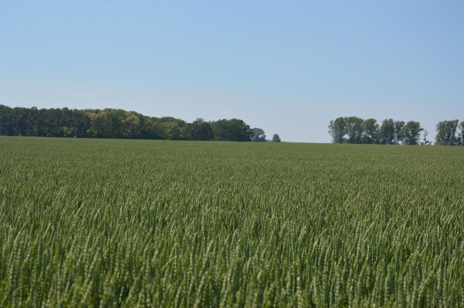Pszenica w gospodarstwie zajmuje ok. 600 ha i jeśli jest dobry rozkład opadów, plonuje średnio 6-7 t/ha.