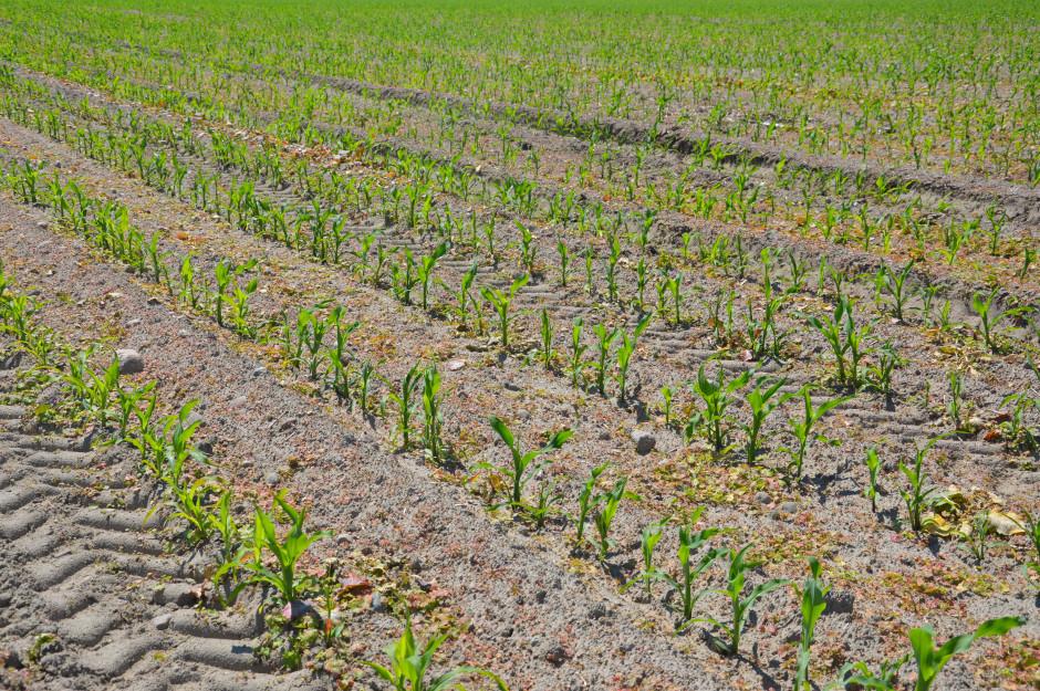 Kukurydza, która zostanie po zbiorach na kiszonkę, jest zbierana na ziarno, a jej plon wahał się w suchym roku 2018 od 5-11 t/ha.