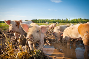 Ardanowski: będą opracowane standardy chowu zwierząt