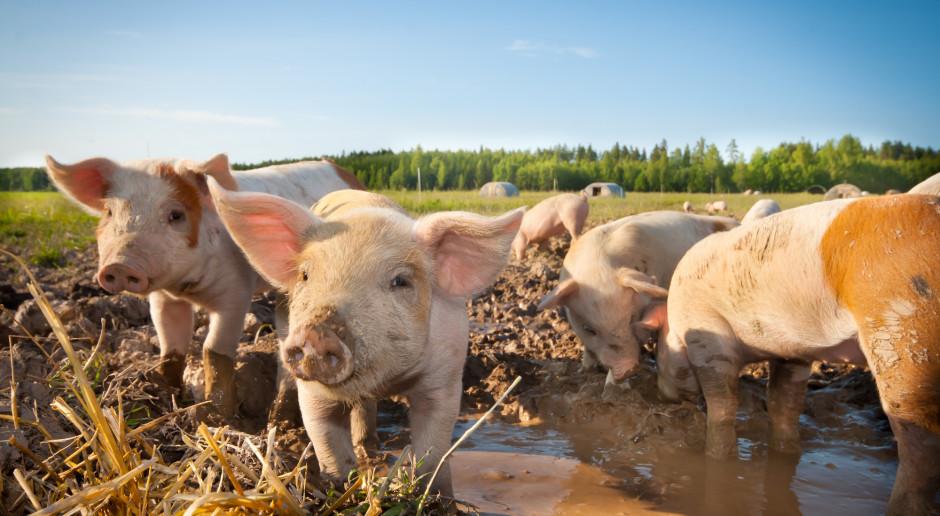 POLPIG: Przedstawiajmy prawdziwy obraz produkcji zwierzęcej