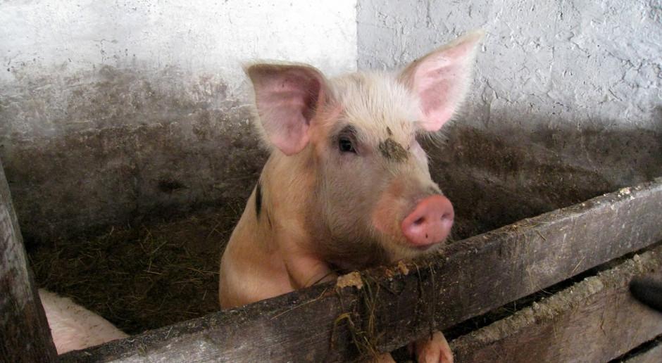 Rosja: W gospodarstwie w Kraju Nadmorskim wykryto ASF