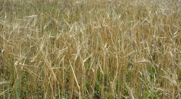 Zbiory zbóż wyższe niż w roku ubiegłym, ale niższe od wielolecia