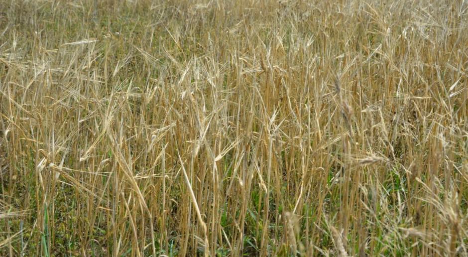 PZPRZ: Zbiory zbóż wyższe niż w roku ubiegłym, ale niższe od wielolecia