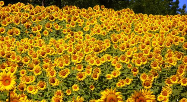 Ukraina zwiększyła produkcję i eksport oleju słonecznikowego