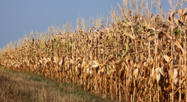 Chemiczny sposób na suszę szkodliwą dla upraw