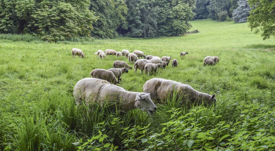 Australia: Przedłużony zakaz wywozu żywych owiec