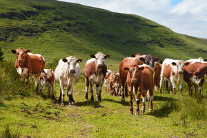 Vasy bydła mlecznego: shorthorn i normandzka