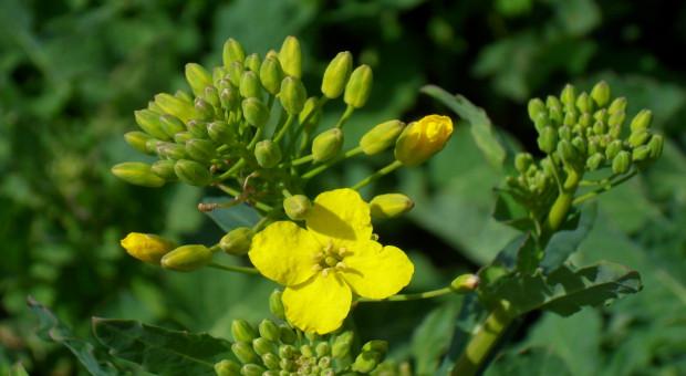 Odmiany rzepaku odporne na wirusa żółtaczki rzepy