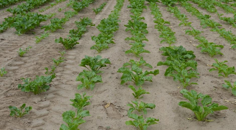 Jaki system uprawy buraków w warunkach suszy?