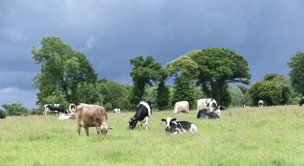Dania: Co czwarty hodowca krów mlecznych  rezygnuje