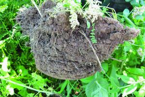 Uprawa bezorkowa a bilans substancji organicznej