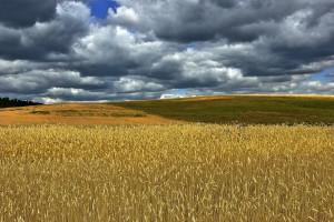 Rosja: Prognoza zbiorów zbóż skorygowana w dół