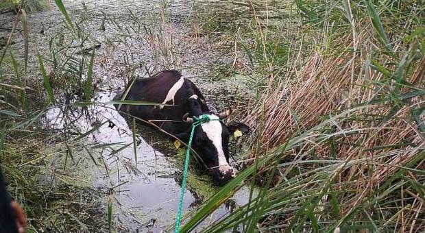 Strażacy wyciągali krowy z bagna