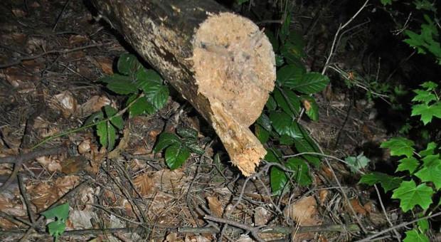 Ścięte przez mężczyznę drzewo zabiło jego żonę
