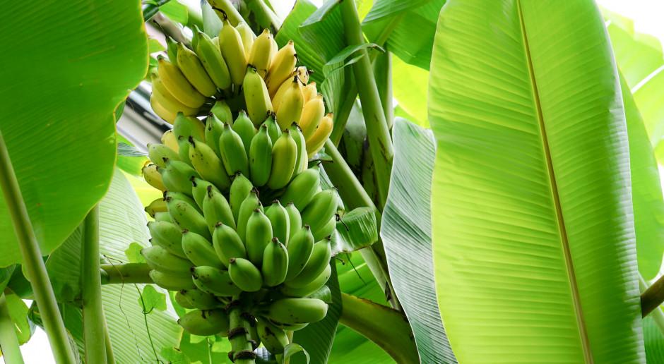 Uprawy bananów bezpieczniejsze dzięki sztucznej inteligencji