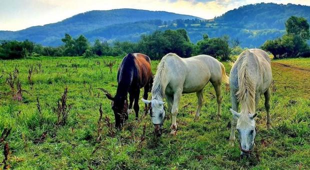 Szajka złodziei grasuje na Sądecczyźnie i na Słowacji. Z pastwisk znikają konie i krowy