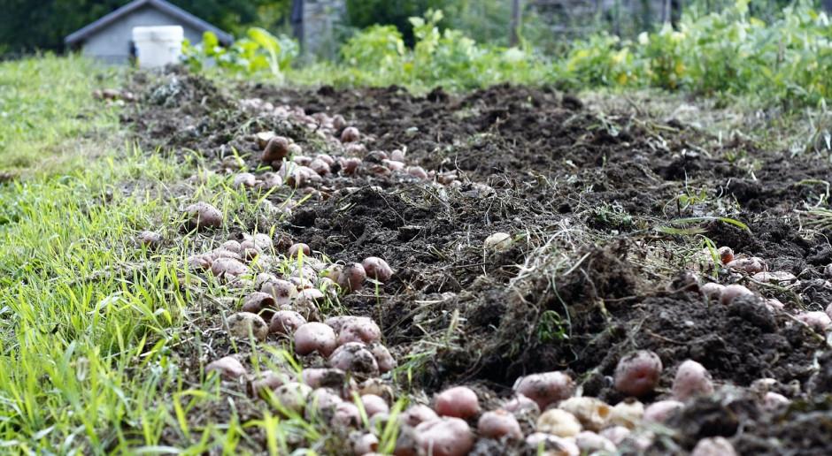Rosja: Do 21 sierpnia zebrano 74,5 mln ton zbóż i bobowatych