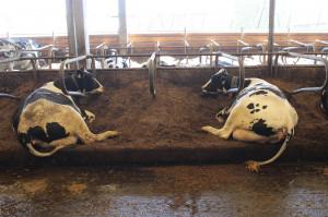 Separat z pofermentu służy jako ściółka dla krów mlecznych