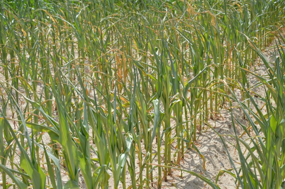 Najgorsza sytuacja z powodu suszy występowała w lipcu w Wielkopolsce, na Ziemi Lubuskiej i Łódzkiej