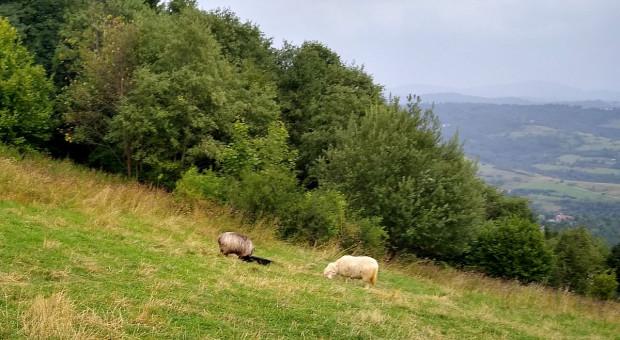 Wilki dziesiątkują stada owiec w Małopolsce. Hodowcy domagają się odstrzału