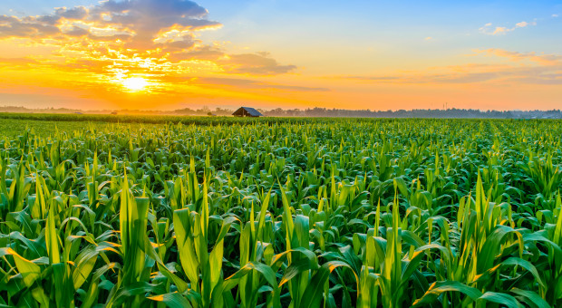 Ukraina: Zebrano 46,3 mln ton zboża i bobowatych