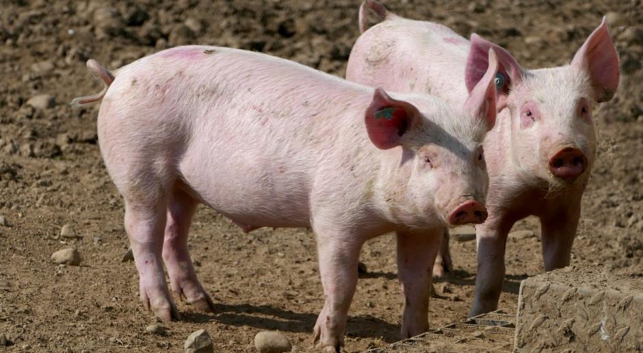 UE: Ceny świń rzeźnych 3 w 1: spadki, stabilizacja i wzrosty