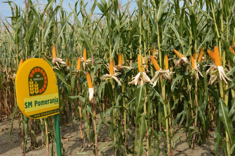 Kolekcja odmian kukurydzy HR Smolice na Dniu Pola 2019 w Dłoni; Fot. Katarzyna Szulc