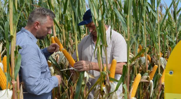 Kolekcja odmian kukurydzy HR Smolice